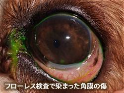 フローレンス検査で染まった角膜の傷