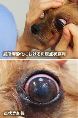 局所麻酔化における角膜点状穿刺と点状穿刺後