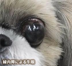 緑内障による牛眼